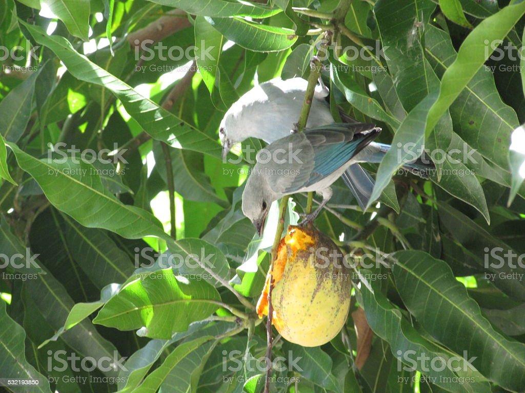 Bluebird's couple pecking a mango stock photo