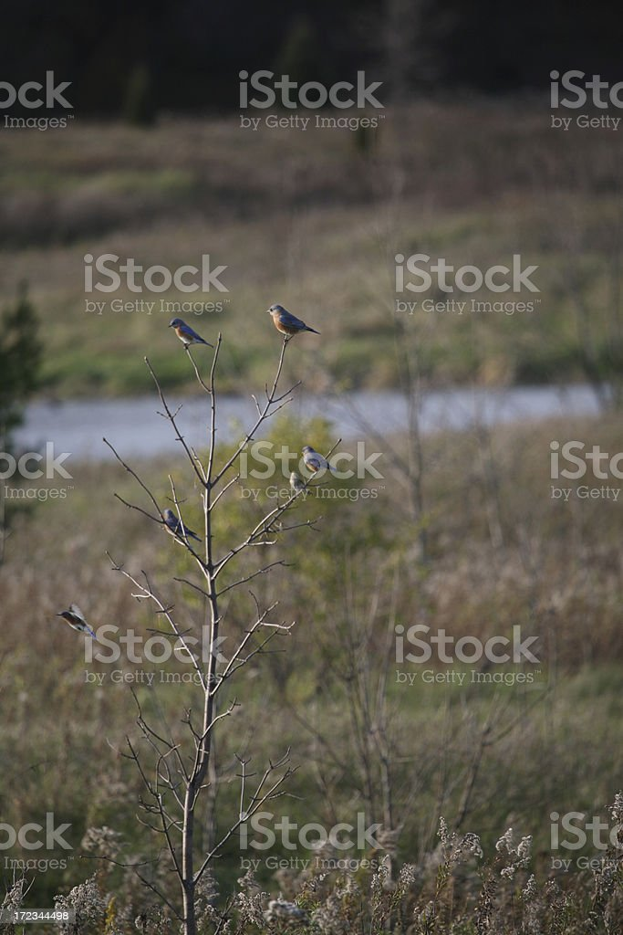 Bluebirds of Happiness royalty-free stock photo