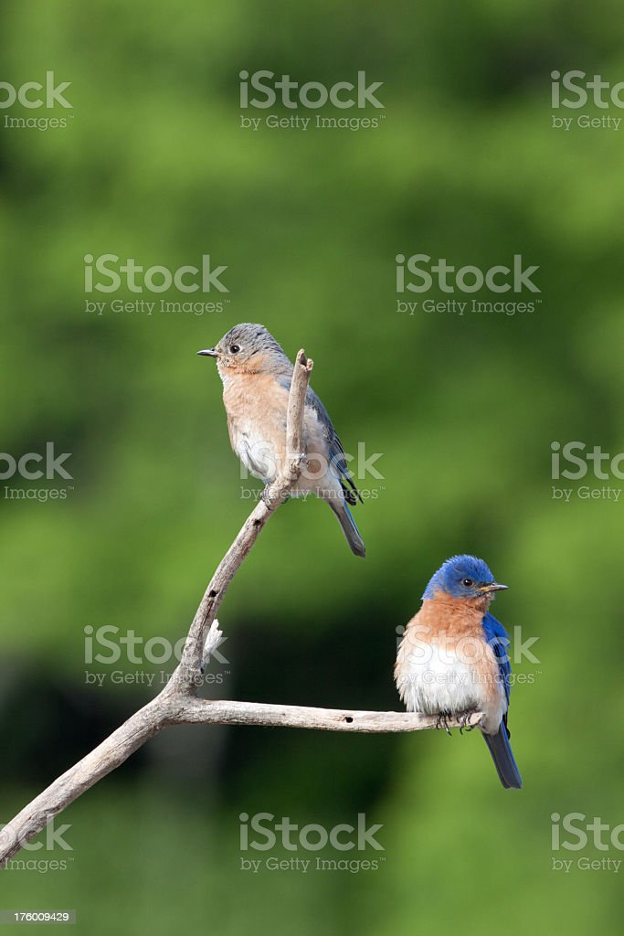 Bluebirds royalty-free stock photo