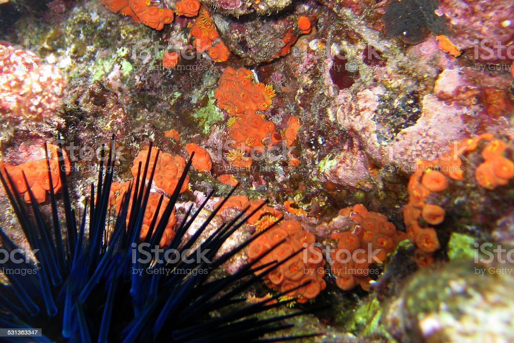 Blue-Black spiny sea urchin in orange cup coral tidepool stock photo
