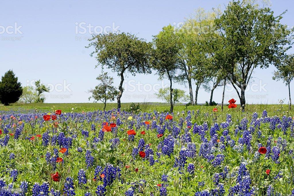 bluebonnet and poppy field royalty-free stock photo