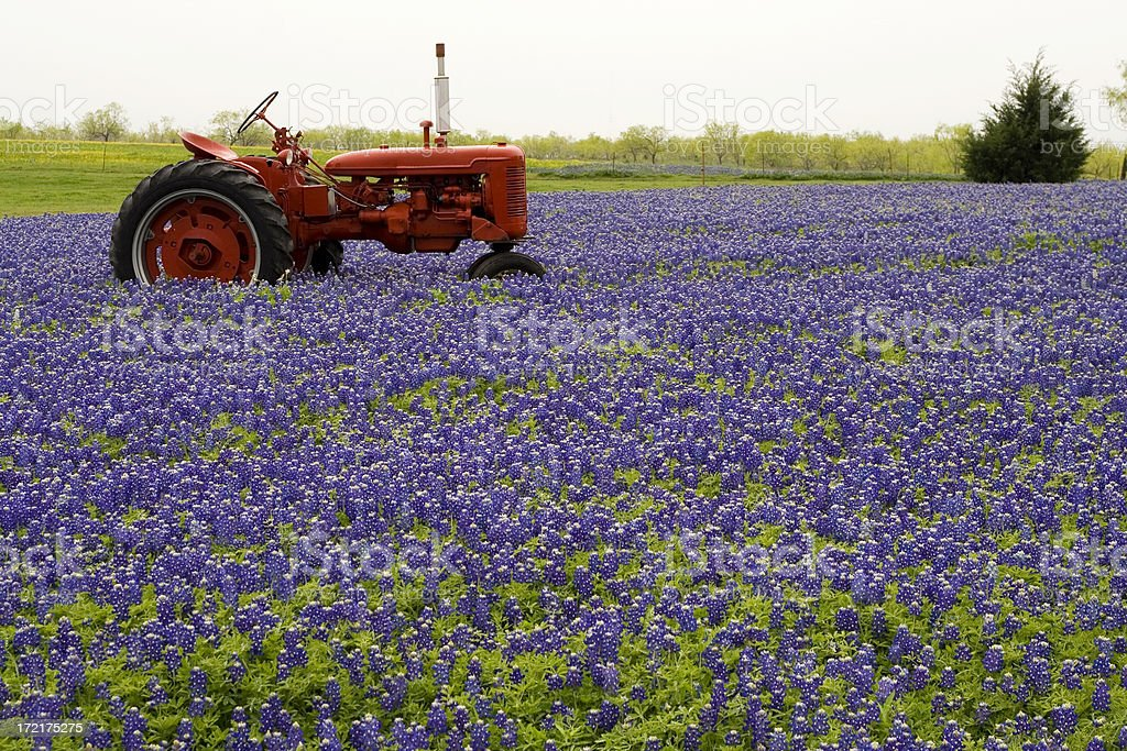 bluebonnet field with tractor stock photo
