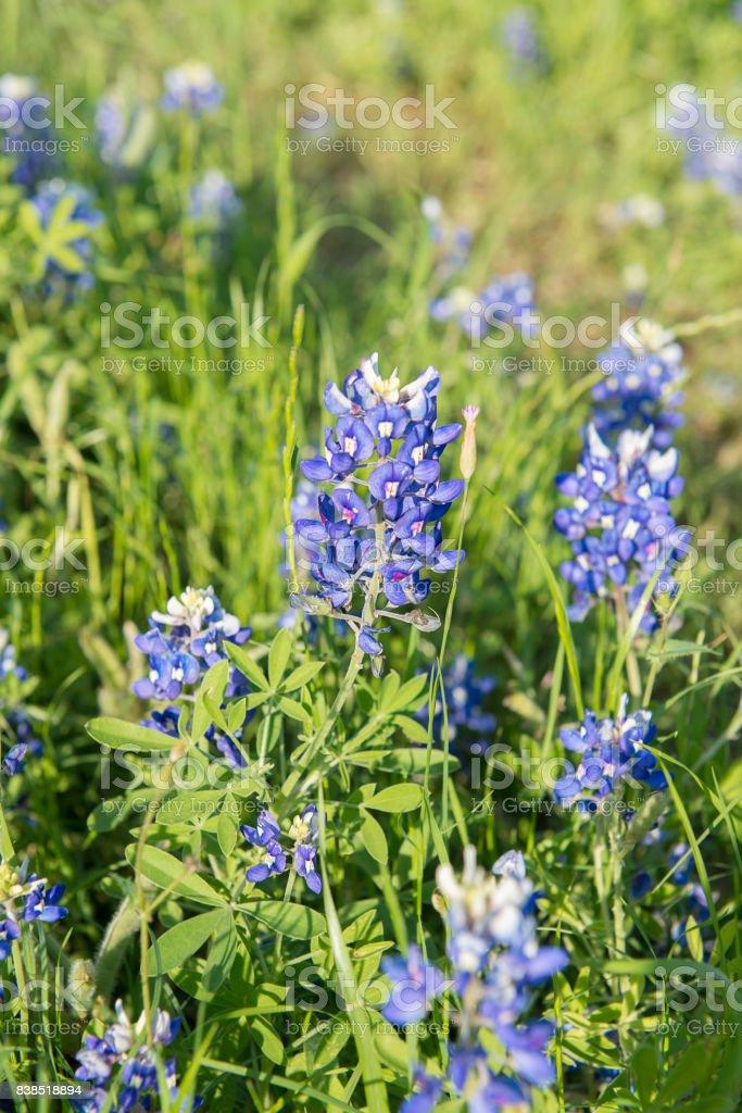 Bluebonnet flower, close-up flower in Texas, USA stock photo