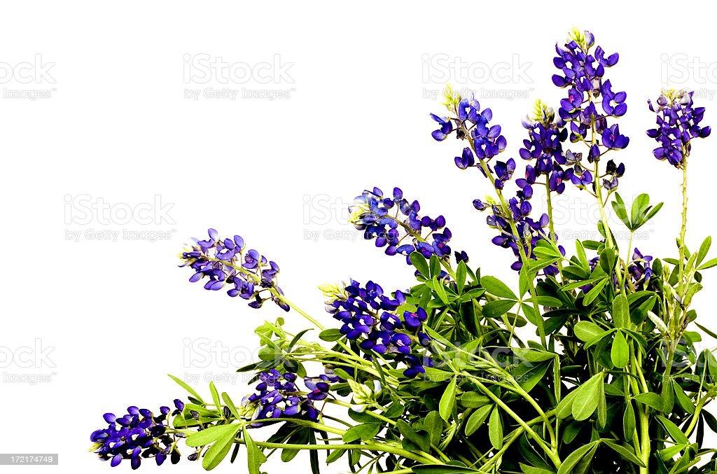 bluebonnet spray stock photo
