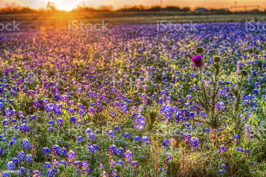 Bluebonnet Sunrise in the Texas Hill Country stock photo