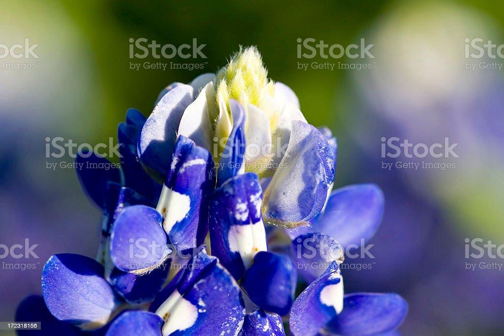 Bluebonnet Top stock photo
