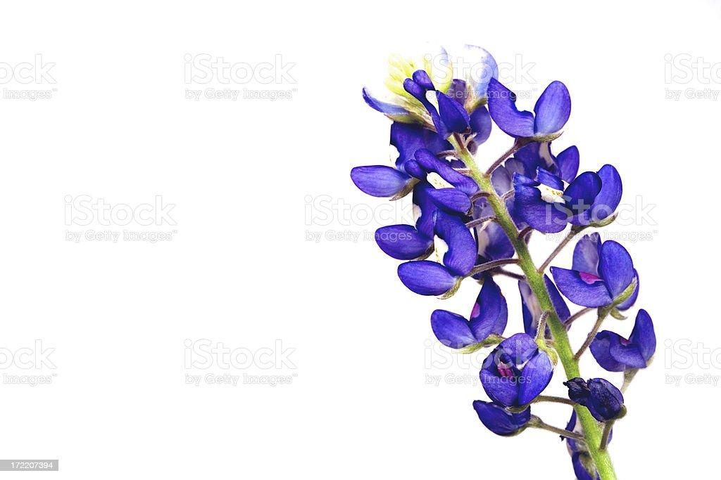 bluebonnet wildflower stock photo