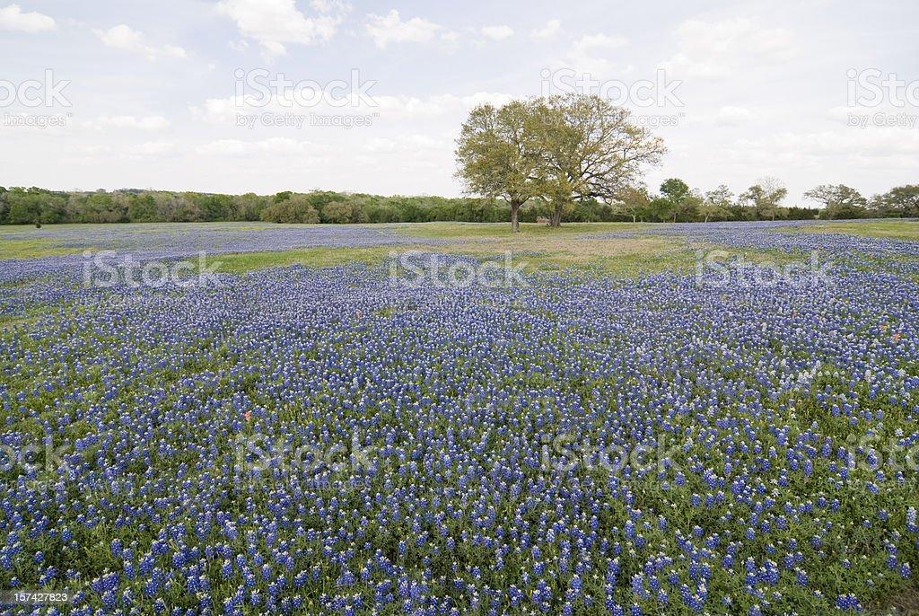 Bluebonnets All Around stock photo