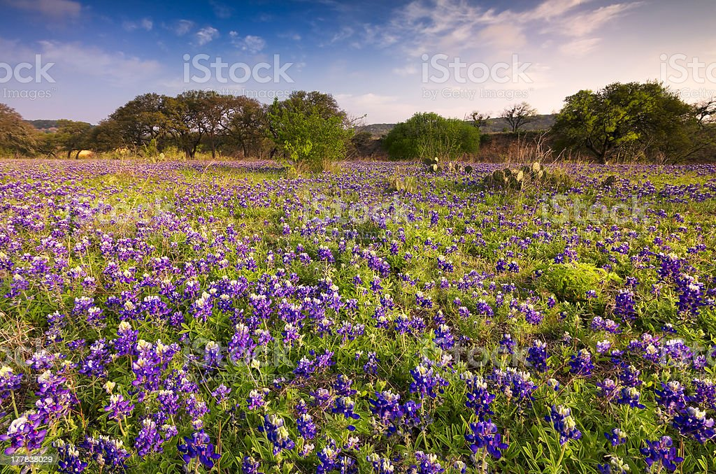 Bluebonnets field in the Texas Hill Country stock photo
