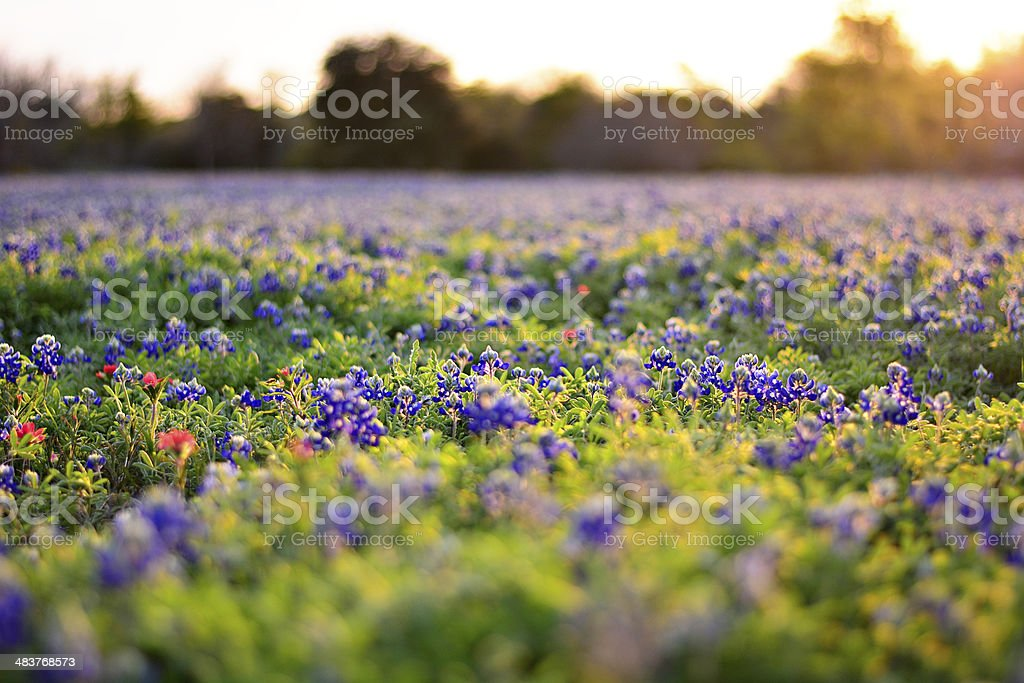 Bluebonnets in a field stock photo