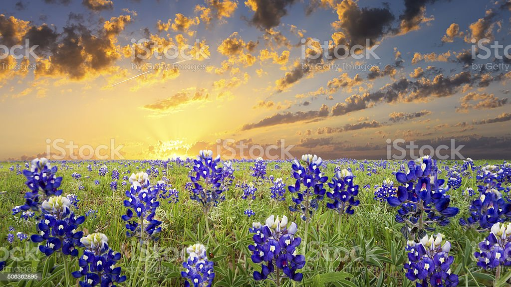Bluebonnets in the Texas Hill Country stock photo