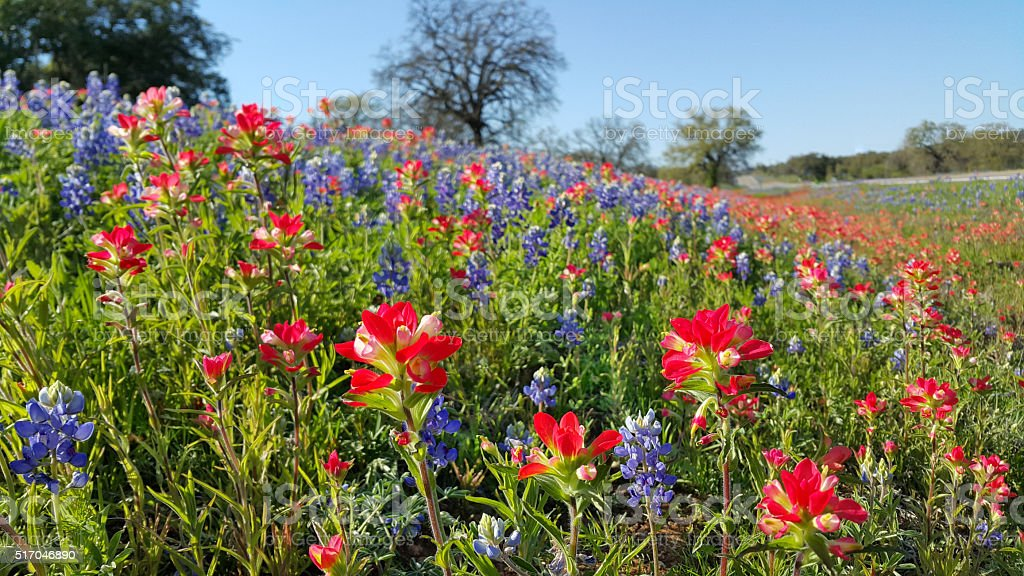 Bluebonnets, Indian Paintbrush, wildflowers color, Texas Hill Country stock photo