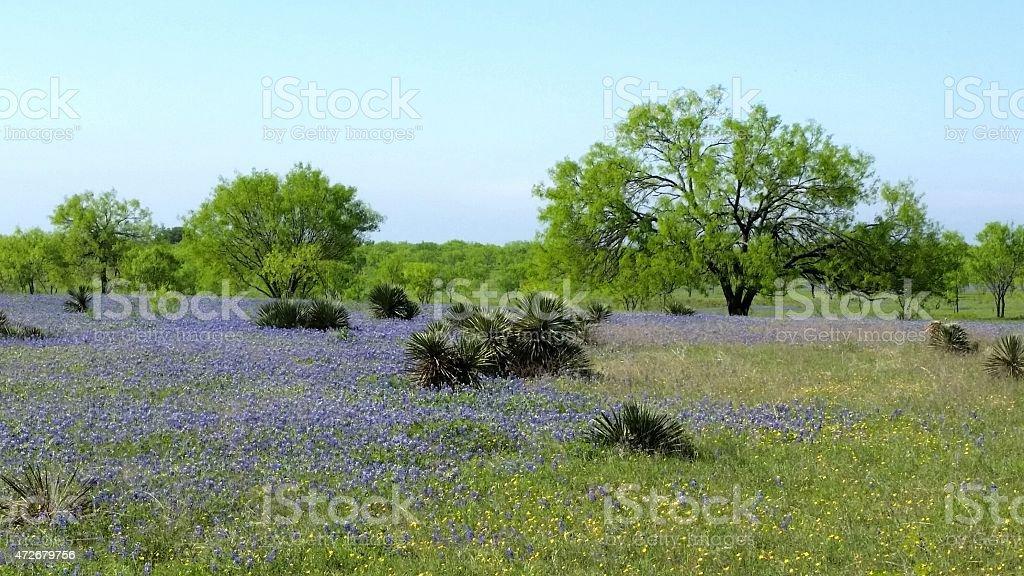 Bluebonnets on Texas Ranch stock photo