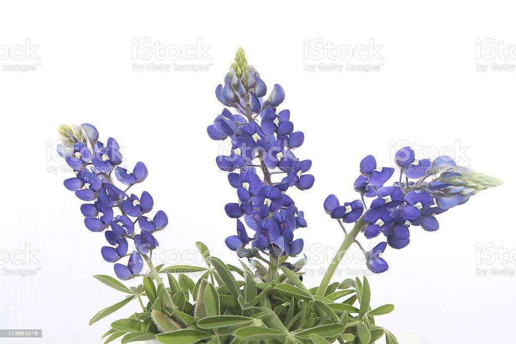bluebonnets stock photo