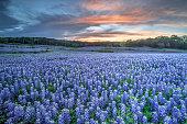 Bluebonnets, TX