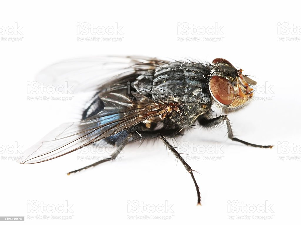 Bluebottle fly 01 royalty-free stock photo