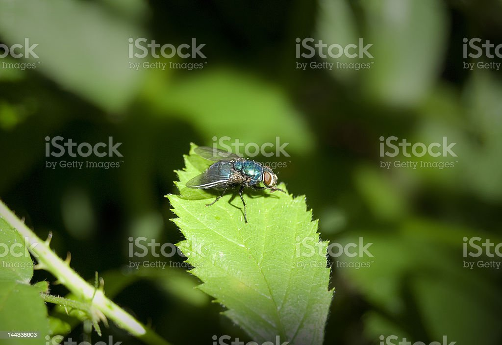 Bluebottle fly on the leaf stock photo