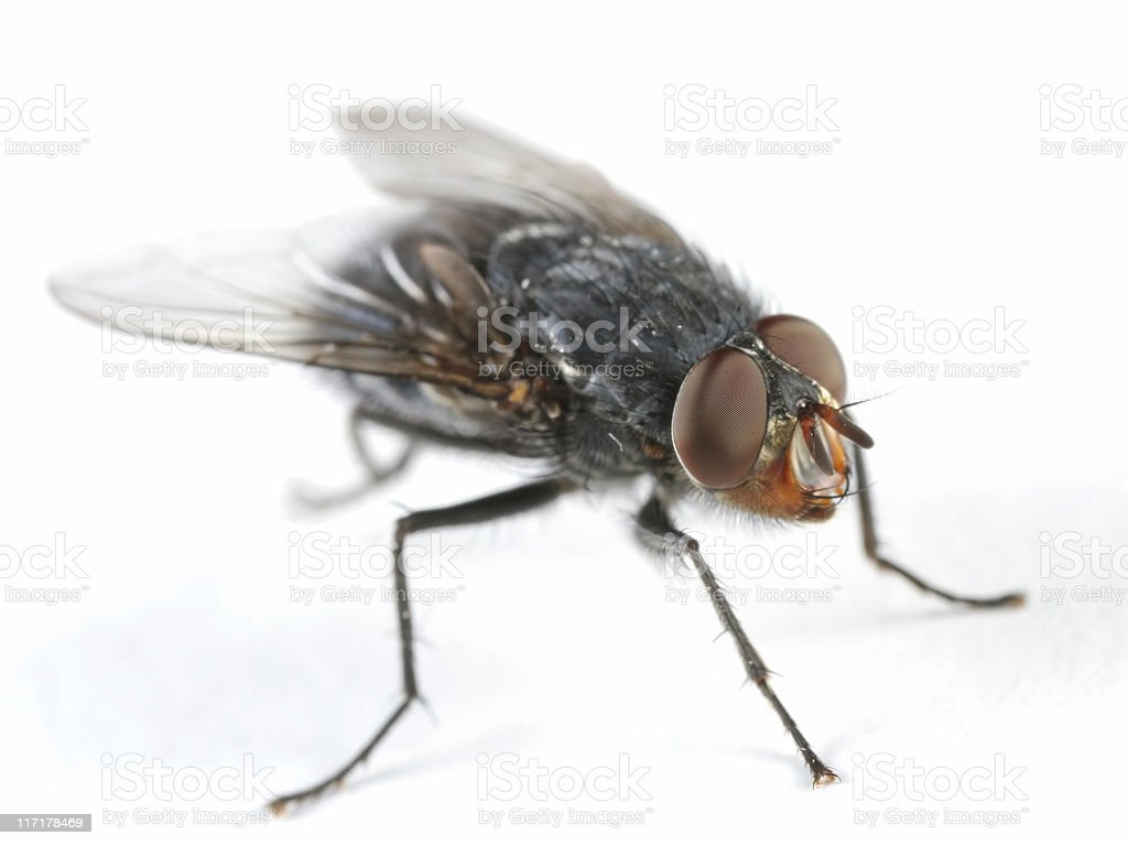 Bluebottle fly royalty-free stock photo