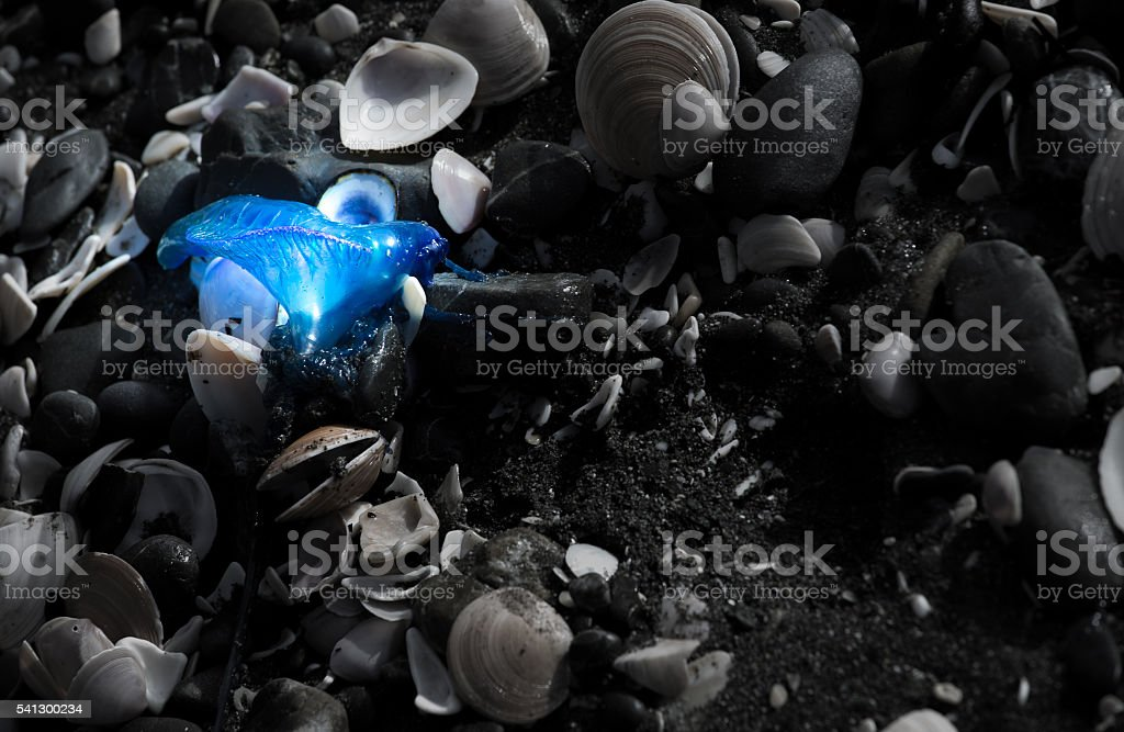 Bluebottle Jellyfish on the beach stock photo