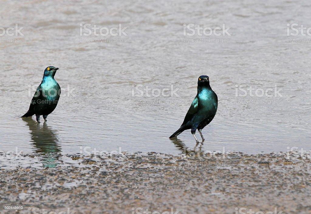 Blue-eared Starlings in water stock photo