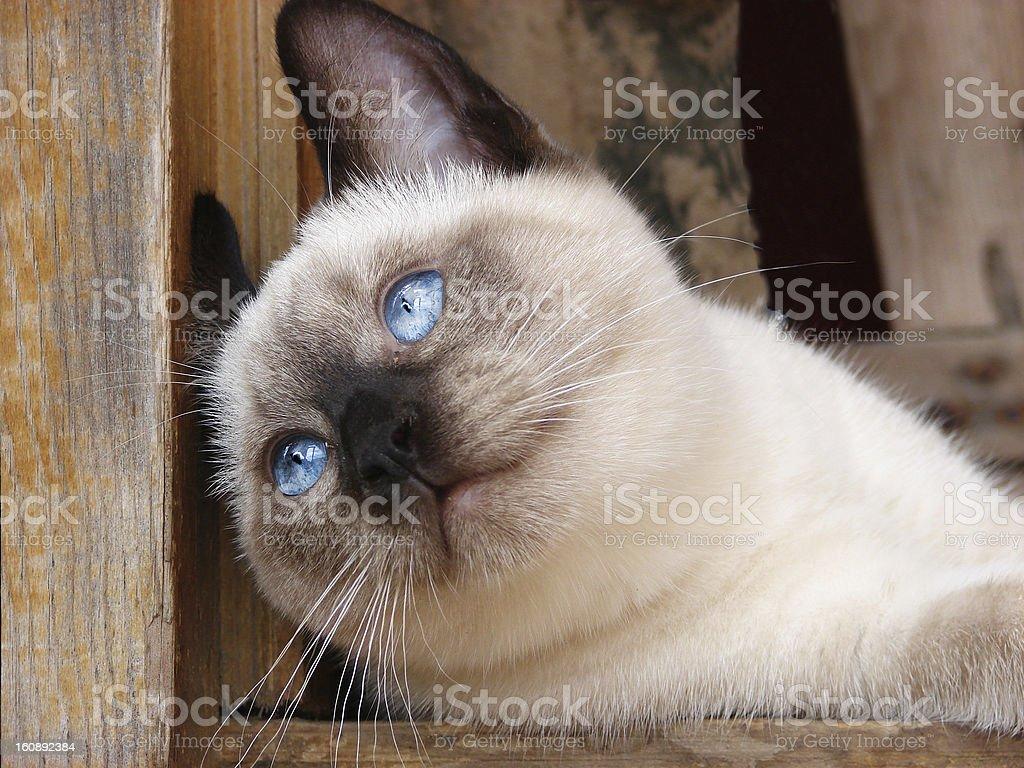 blue-eyed cat royalty-free stock photo
