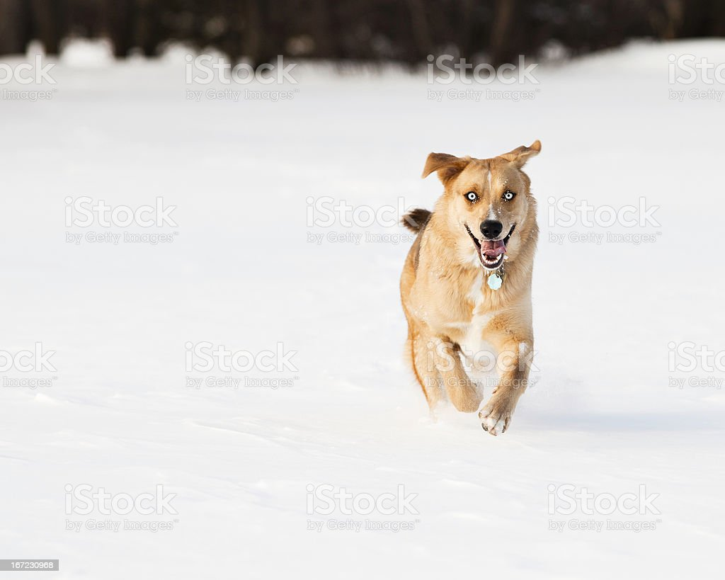 Blue-eyed dog running in winter snow stock photo
