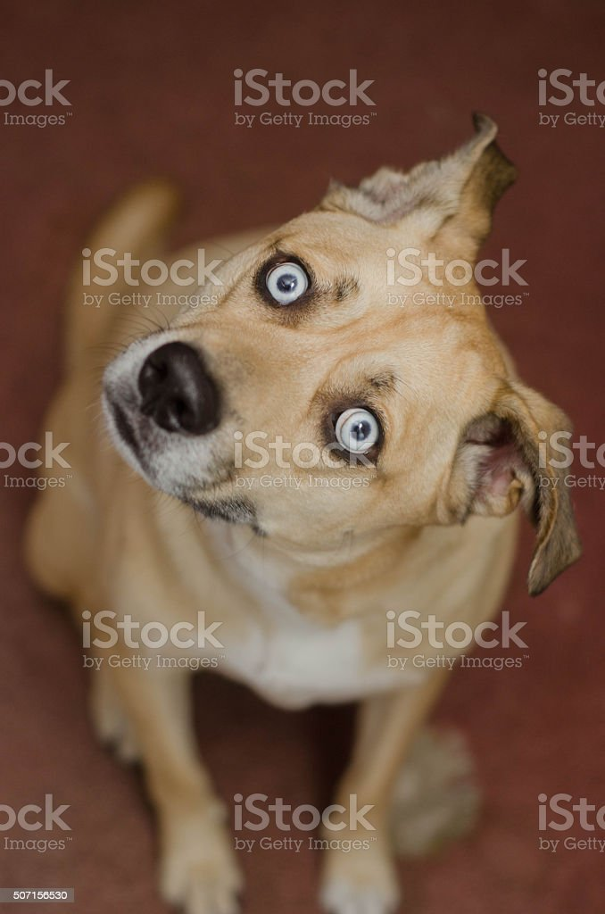 Blue-Eyed Dog Tilting Head stock photo