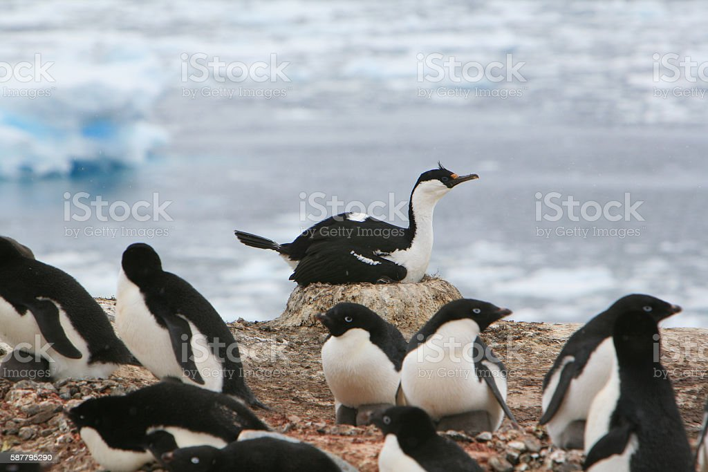 Blue-eyed shag nesting amidst Adélie penguins in Antarctica. stock photo