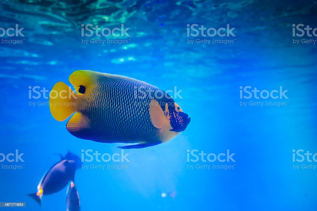 Blueface Angel Fish stock photo