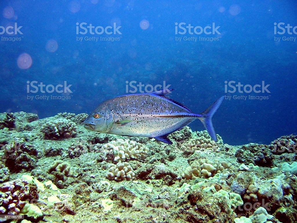 Bluefin Jack Cruising royalty-free stock photo