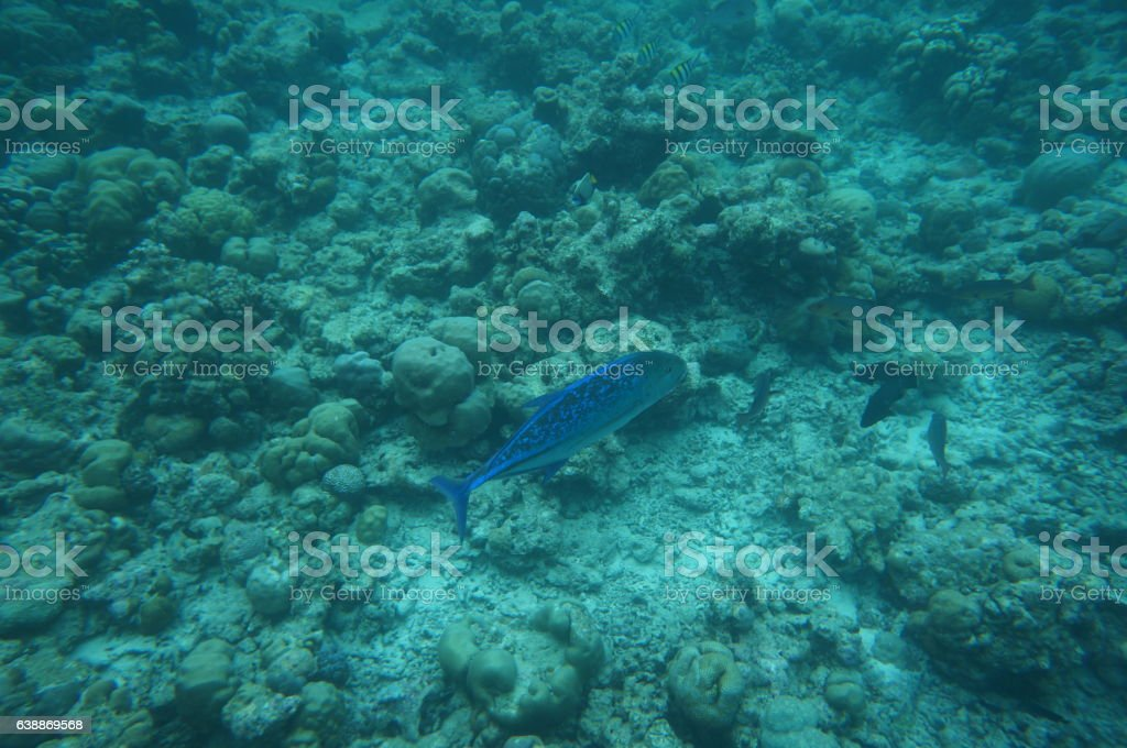 Bluefin trevally stock photo