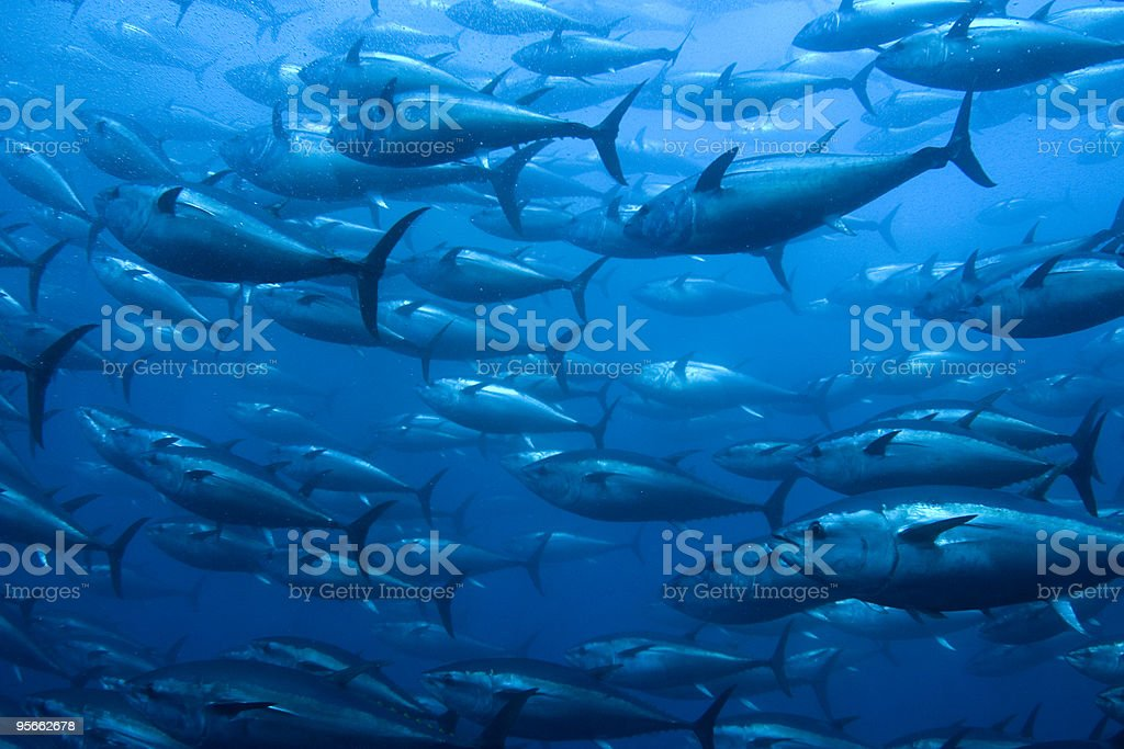 Bluefin Tuna in Net stock photo