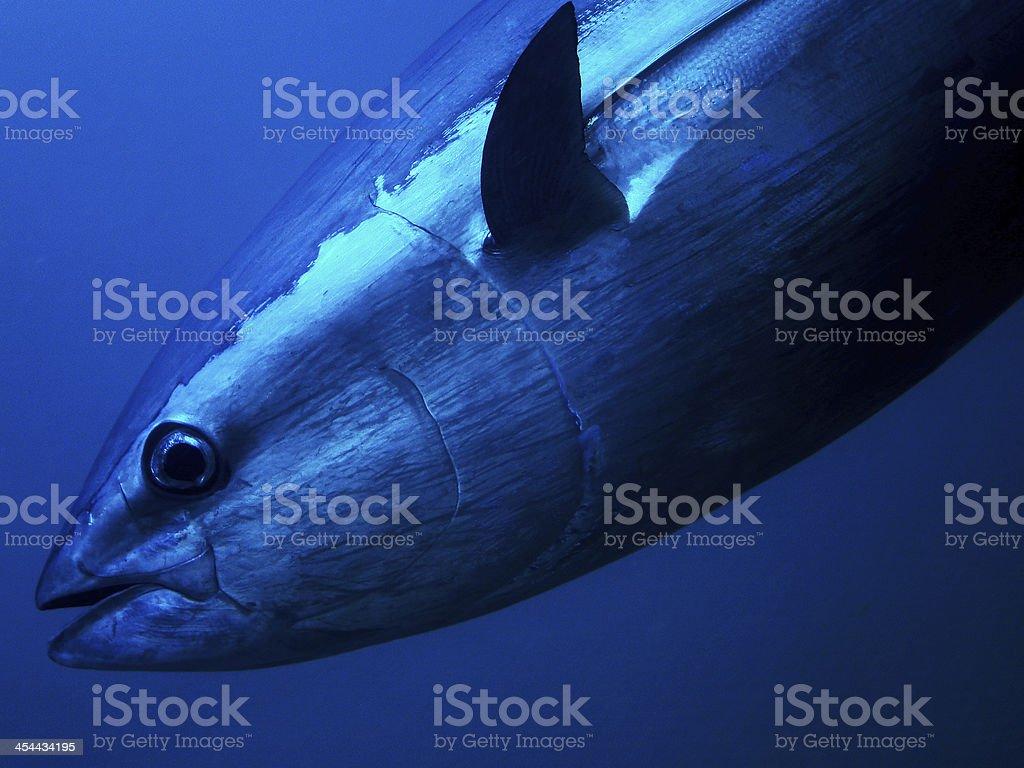 Bluefin Tuna royalty-free stock photo