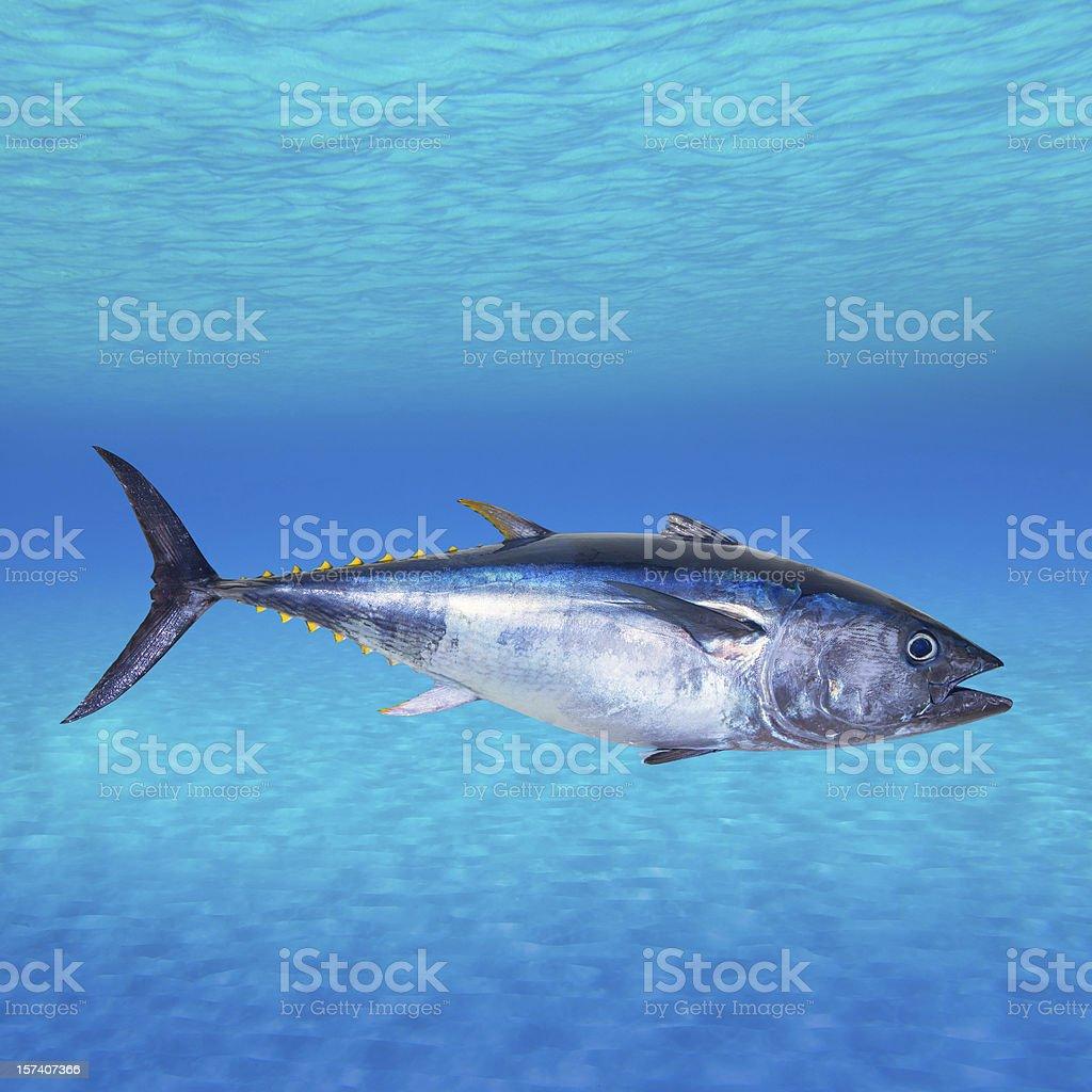 Bluefin tuna Thunnus thynnus underwater stock photo