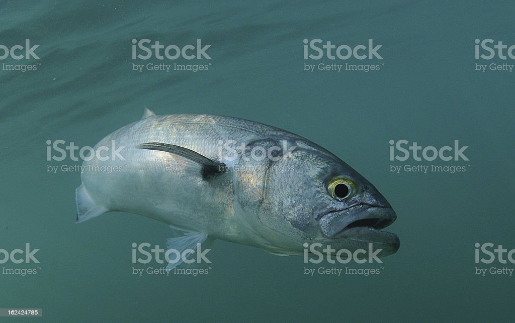 Bluefish is swimming in ocean stock photo