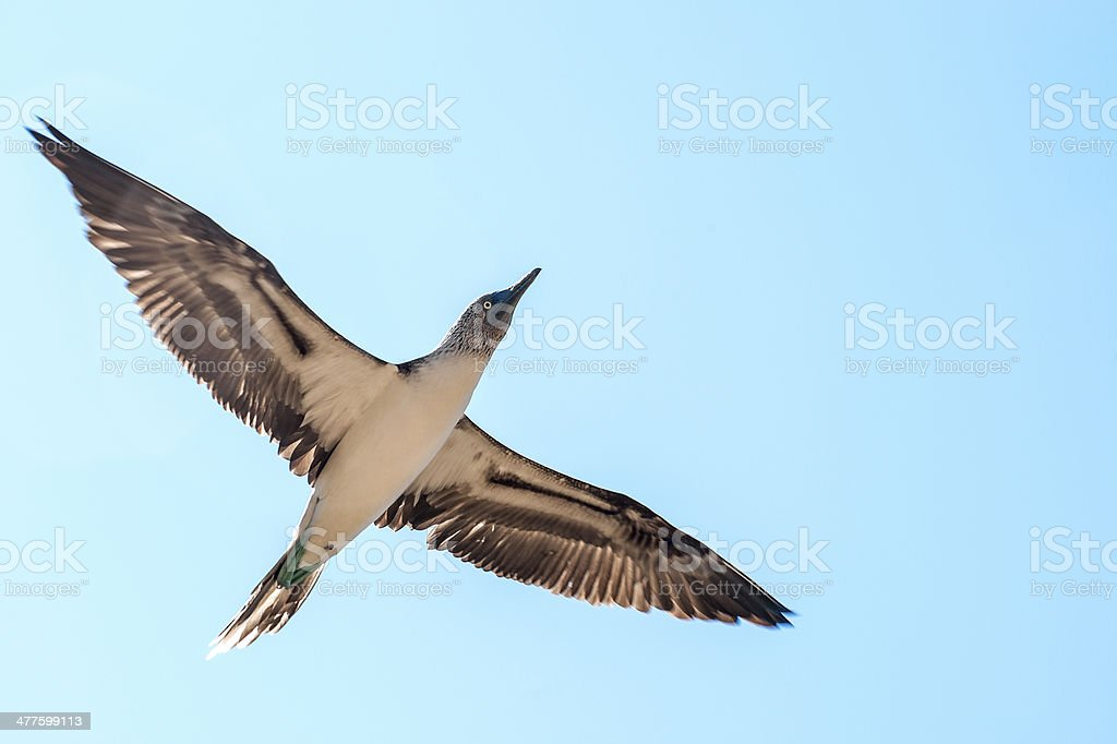 Blue-footed boobie. Galapagos, Ecuador stock photo