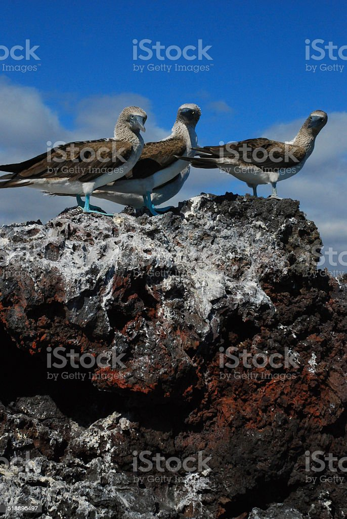 Blue-Footed Boobies sitting on a rock royalty-free stock photo