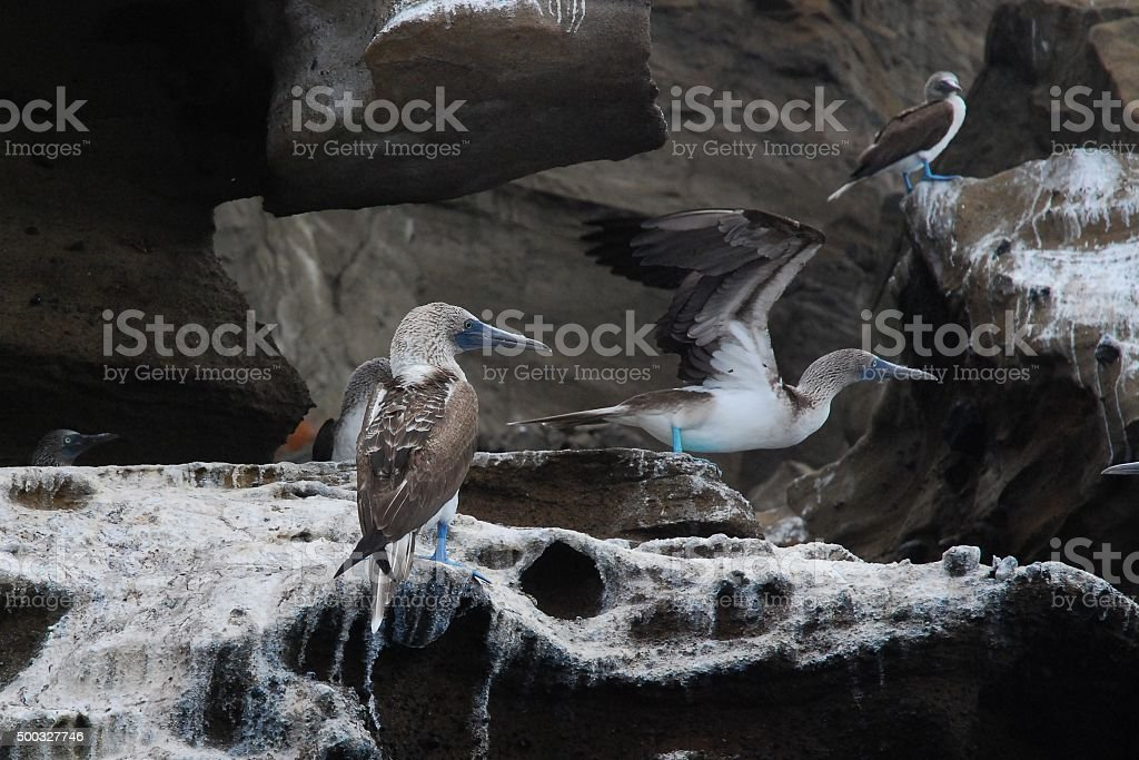 Blue-Footed Boobies sitting on the rocky shore royalty-free stock photo