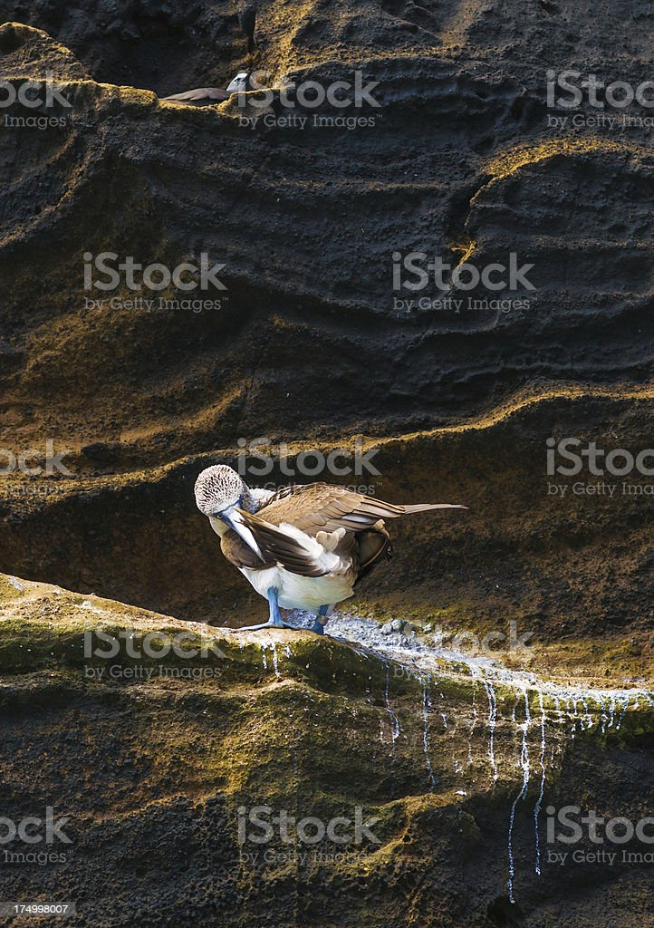 Blue-Footed Booby Cleaning Its Plumage stock photo