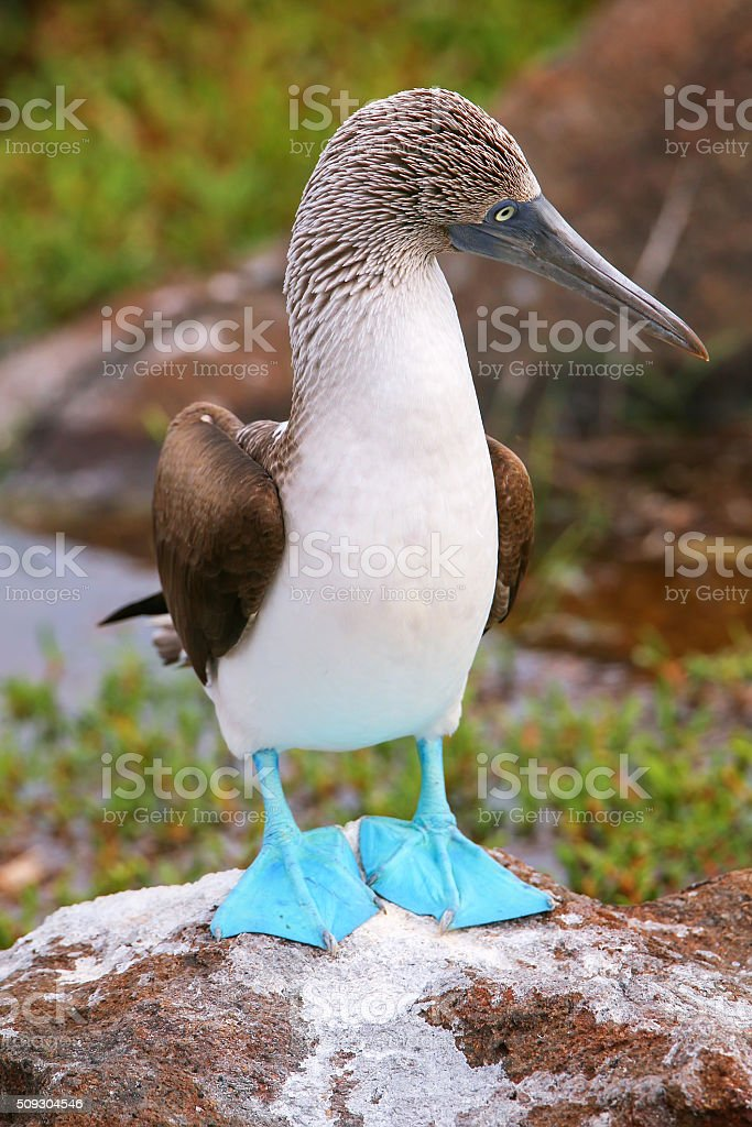 Blue-footed Booby on North Seymour Island, Galapagos National Pa stock photo