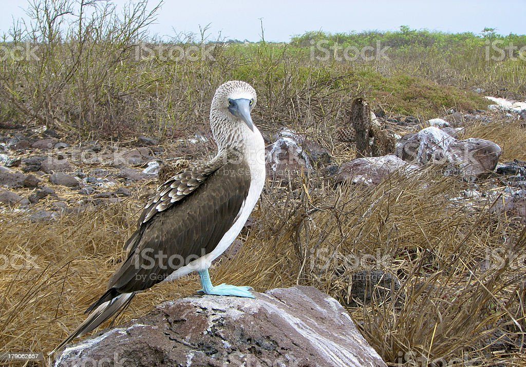 Blue-Footed Booby royalty-free stock photo