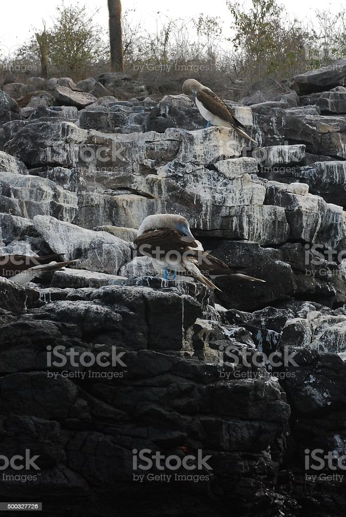 Blue-Footed Booby sitting on a rock royalty-free stock photo