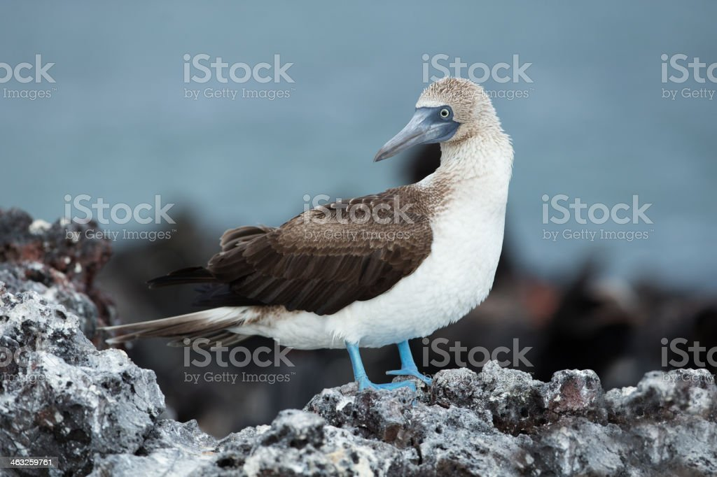 Blue-footed Boobyis stock photo
