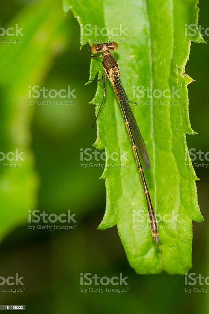 Blue-fronted Dancer Damselfly stock photo