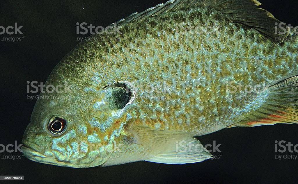 Bluegill royalty-free stock photo