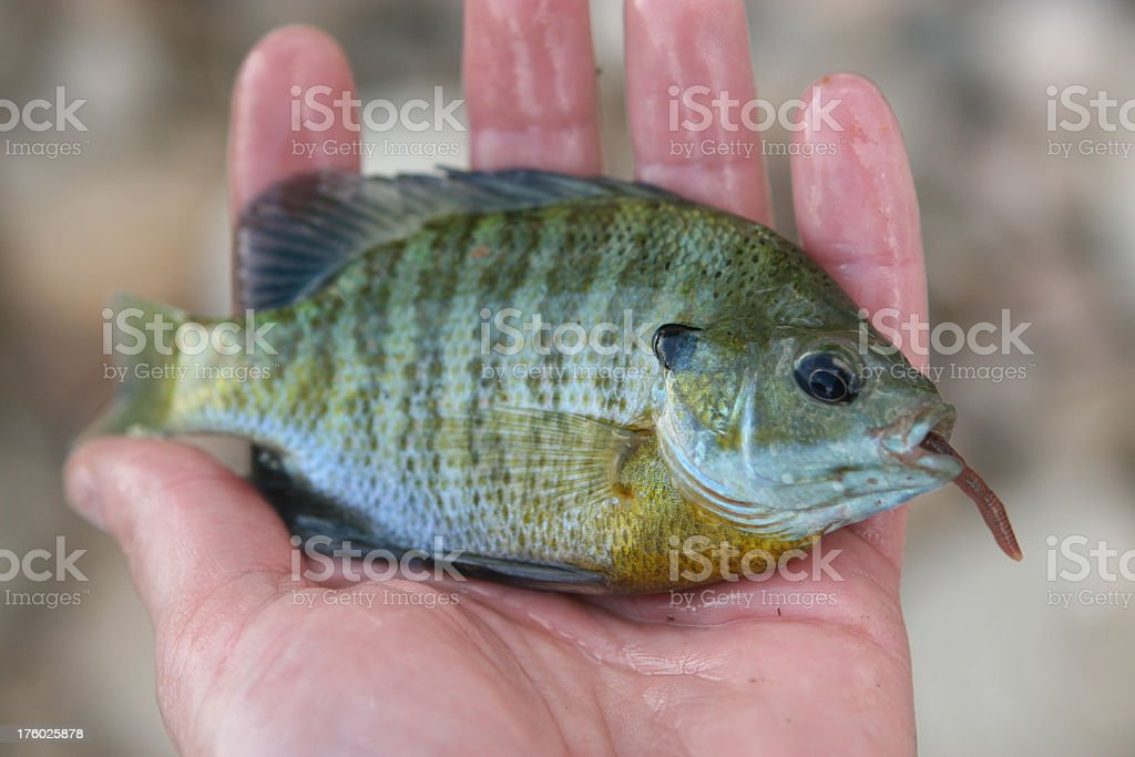 Bluegill Sunfish in the palm of a wet hand royalty-free stock photo