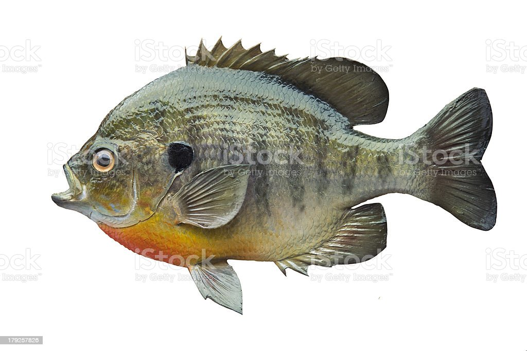 Bluegill sunfish isolated on white stock photo