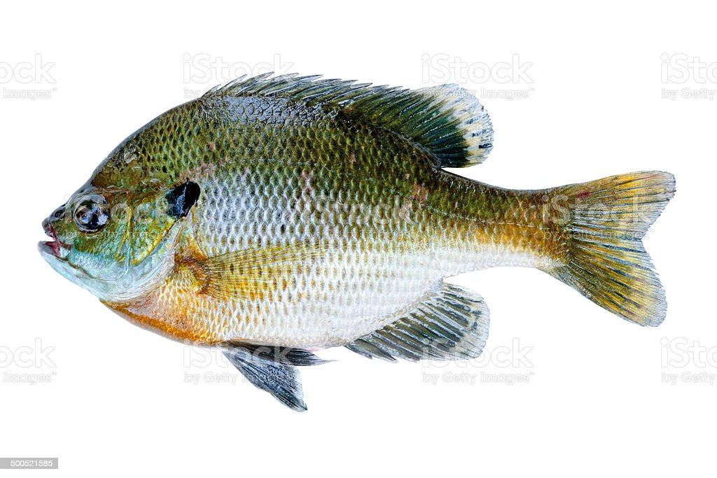 Bluegill sunfish, Lepomis Macrochirus stock photo