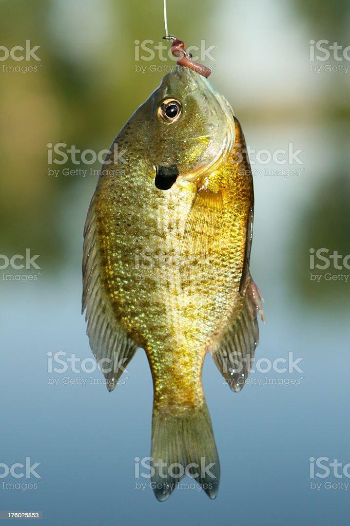 Bluegill Sunfish stock photo