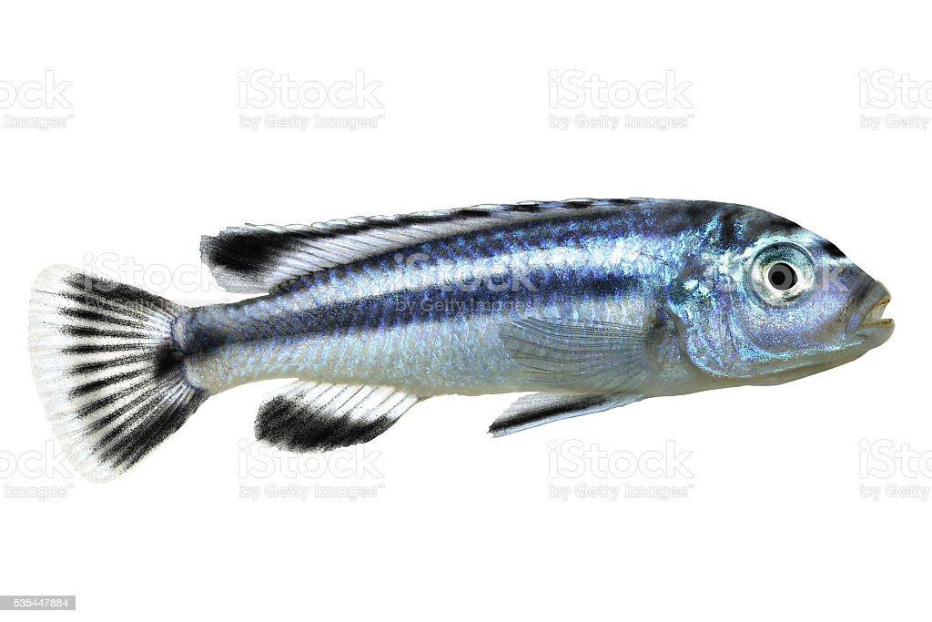 bluegray mbuna malawi cichlid Melanochromis johannii aquarium fish johanni stock photo